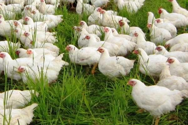 Organic meat and poultry