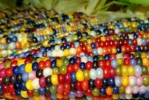 Multicolored-Corn-Developed